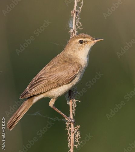 Canvas Print Kleine Spotvogel, Booted Warbler, Iduna caligata