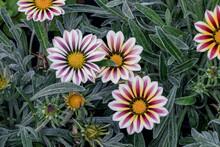 Beautiful Gazania Yellow Mix Purple Flower In A Garden.Sometimes Called Treasure Flower Or African Daisy.