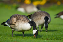 Grote Canadese Gans, Greater Canada Goose, Branta Canadensis Canadensis