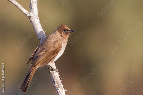 Photo Common Bulbul, Pycnonotus barbatus barbatus