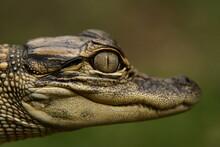 Young American Aligator