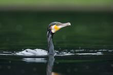 Aalscholver, Great Cormorant, Phalacrocorax Carbo Sinensis