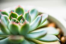 Green House Succulent Macro Closeup