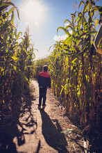 Young Boy Walking Through A Corn Maze On A Sunny Fall Day.