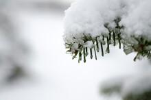Melting Snow On A Twig