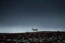 White Reindeer Walks Across Open Landscape Beneath Dark Sky, Kungsleden Trail, Lapland, Sweden