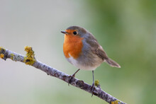 Robin Bird In The Forest