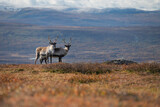 Two reindeer look at camera in autumn mountain landscape along Kungsleden Trail, Lapland, Sweden