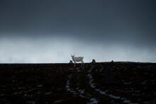 White Reindeer Stands In Trail Beneath Dark Sky, Kungsleden Trail, Lapland, Sweden