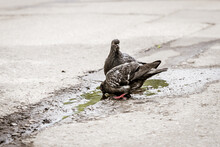 Pigeons Drink Water From A Puddle On The Asphalt