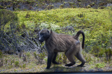 Funny Baboon Strolling In The Wilderness Of The Cape Peninsula
