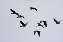 Glossy Ibis, Zwarte Ibis, Plegadis Falcinellus
