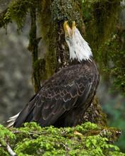 Bald Eagle Calling In Rainforest, Anan Creek