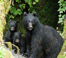 Black Bear Mama And Cubs, Anan Creek