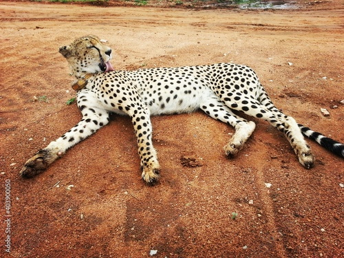 Canvas Cheetah Lying On Field In Forest