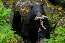 Black Bear With Mangled Salmon, Anan Creek, Alaska