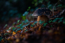 Closeup Shot Of A Wild Bay Bolete Mushroom In A Forest With Greenery