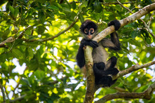 Cute Adorable Spider Monkey Close Up Natural Habitat In Jungle