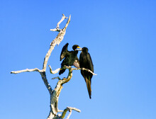 Low Angle View Of Cormorants Perching On Branch Against Clear Blue Sky
