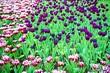 Leinwandbild Motiv Close-up Of Fresh Purple Poppy Flowers Blooming In Field