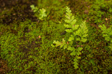 Moss Is A Green Flowerless Plant A Very Small Hardy Plant Sometimes Only One Cell Thick That Grows Slowly. A Wild Plant Growing With Them In Focus.