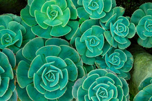 In Botany, Succulent Plants, Alsi Known As Succulents, Are Plants With Parts That Are Thickened, Fleshy And Engorged Usually To Retain Water In Arid Climates Or Soil Conditions.