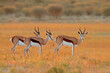 canvas print picture Springbok antelopes (Antidorcas marsupialis) in natural habitat, South Africa.