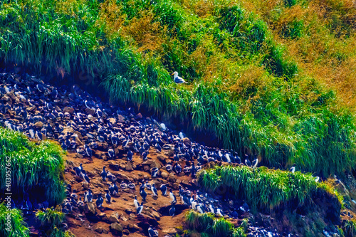 Canvastavla Murres Colony Nests Seabirds Haystack Rock Canon Beach Oregon