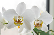 Beautiful Orchid Flower. Beautiful Decorative Flowers.