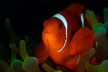 Red Spinecheek Clownfish Swimming In Front Of Its Anemone