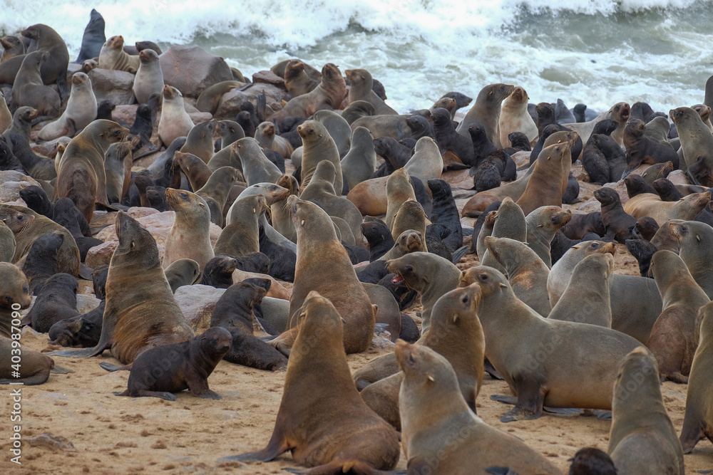 Fototapeta sea lion colony at cape croos in namibia