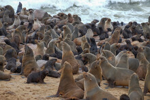 Sea lion Colony At Cape Croos In Namibia