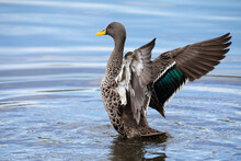 Lone Yellow Billed Duck Swimming On Surface Of A Pond