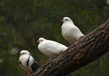 Three White House Pigeons On A Branch