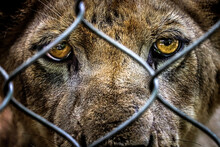 Portrait Of Sad Imprisoned Young Lion Behind Metal Bar