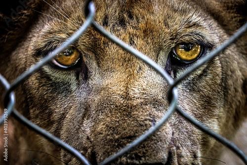 Obraz na plátne portrait of sad imprisoned young lion behind metal bar