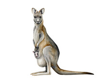 Kangaroo Watercolor Illustration. Hand Drawn Australia Animal With A Baby In A Pouch. Grey Kangaroo Side View Realistic Image. Australian Wildlife Animal With Long Tail And Legs On White Background.