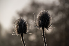 Frost Covered Teazel Or Teasel Seed Heads