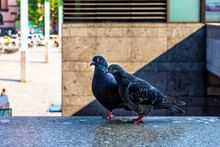 Pigeon Couple Perched On A Stone Parapet In An Urban City Street