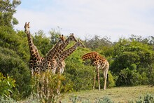 Group Of Giraffes Standing On The Grass Covered Hill Near The Trees