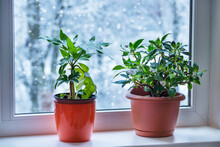 Houseplant Inside On The Windowsill  During Winter Time