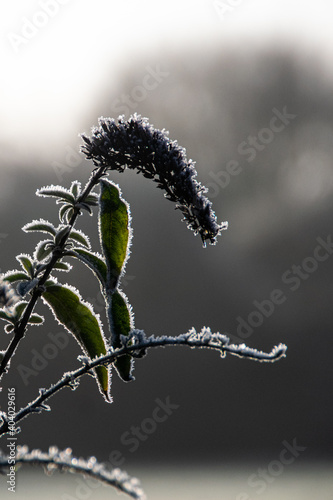 Photo Frost on Buddleia