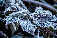 Frosty Bramble Leaves