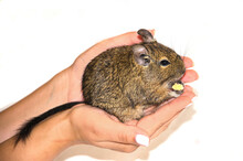 Squirrel Degu In Female Hands On A White Background. Pets. Selective Focus
