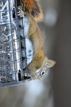 American Red Squirrel Eating From Squirrel Proof Bird Feeder