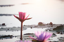Pink Lotus Flowers Are Blooming With Sunset