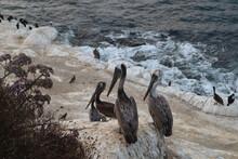 Pelicans On Sea Cave Cove Of La Jolla, California