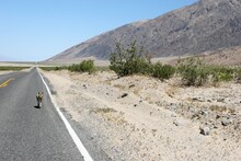 Coyote Walking On Road