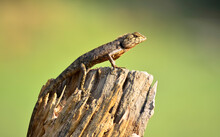 Close-up Of Lizard On Tree Stump