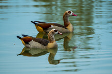 Two Egyptian Geese On Lake, Reflected In Green Blue Water
